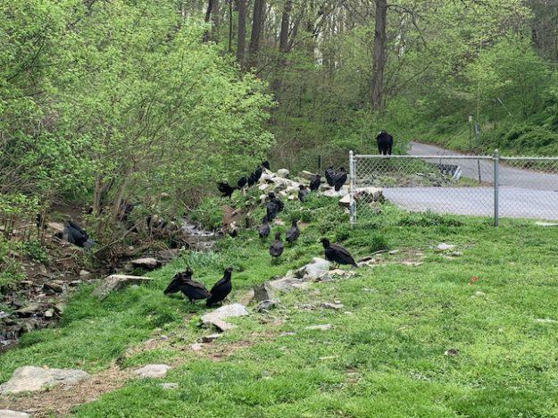 Vultures near Conowingo Dam