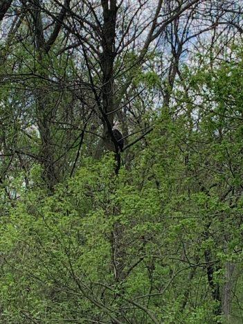 Bald eagles at the fisherman's park near Conowingo Dam