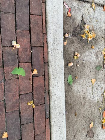 smelly female gingko seeds in Alexandria