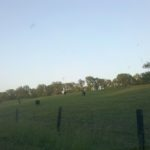 levee cows 002